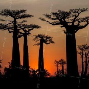 "Misha Tuvin, ""Sunset over the Baobab Alley"", Madagascar 2016, Framed 16x20, $90"